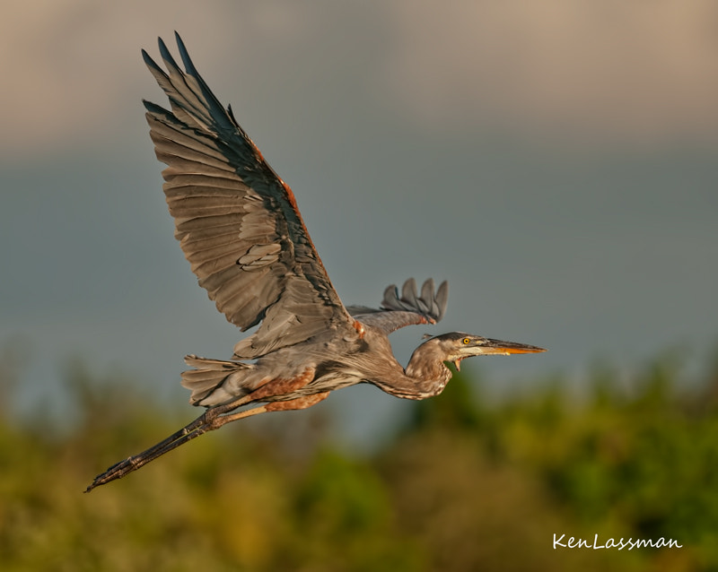 George is a Great Blue Heron that returns to the Wakodahatchee Wetlands in South Florida annually.  Somehow his throat was slashed several years ago and the back part of his tongue protrudes from the opening which has never healed (look closely).  I saw him last month taking off before sunset...he is alive and well...he is one tough guy