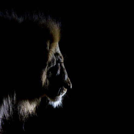 Lion at night, Canon EOS 7D MARK II, Canon EF 300mm f/2.8L IS