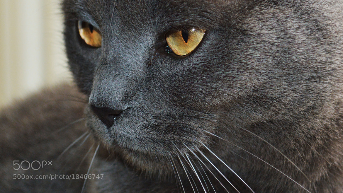 Photograph goodlooking cat by Karin Bee on 500px