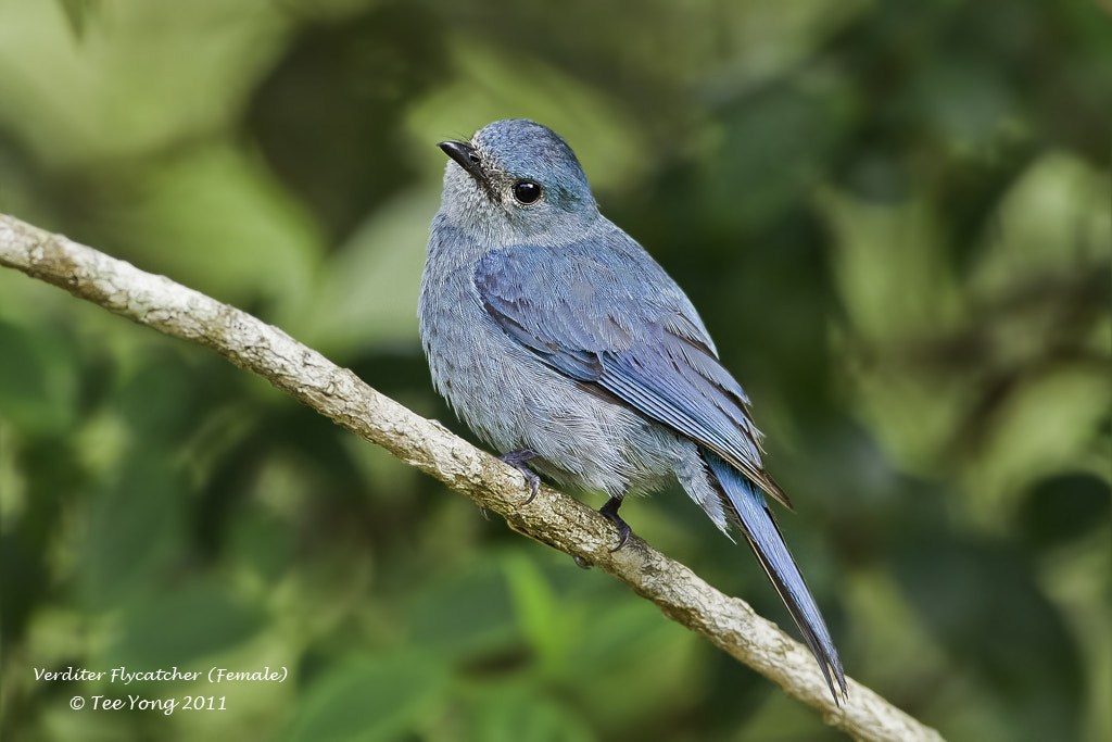 Photograph Verditer Flycatcher by TeeYong on 500px