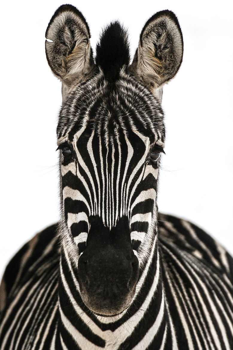 Photograph Zebra by Peter Hausner Hansen on 500px