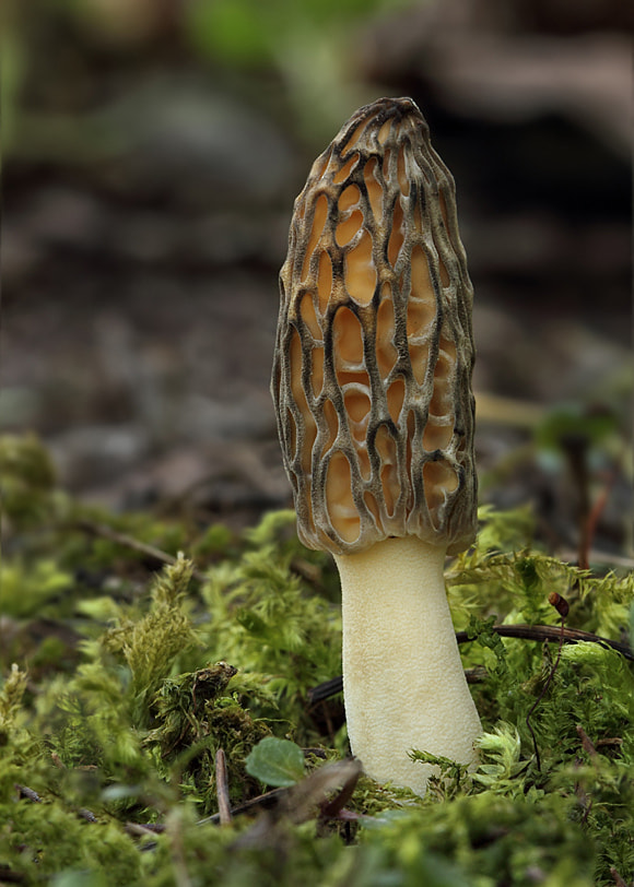 Photograph Morchella conica by Juraj Komar on 500px