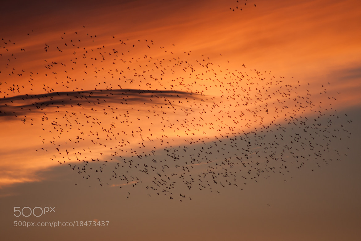 Photograph birds at sunset by David Phillips on 500px