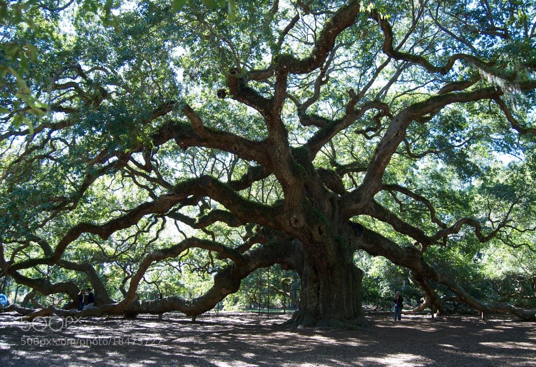 Photograph Ancient Oak by Mark Jones on 500px