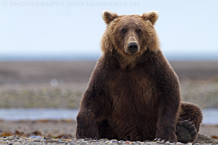 Photograph Bears are cool by Giovanni Mari on 500px
