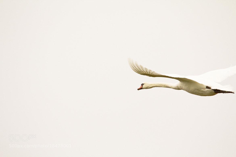 Photograph Lac du Der - Cygne by Lucas Bieber on 500px