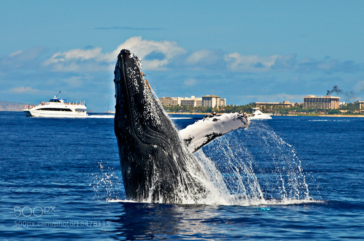 Photograph Maui Whale by Ron Becker on 500px