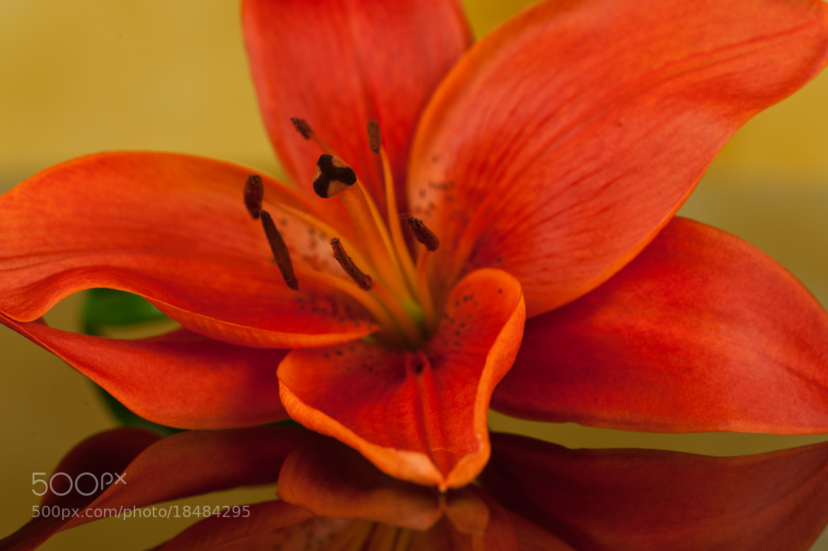 Photograph Red Lily II by Jenni Lucas on 500px