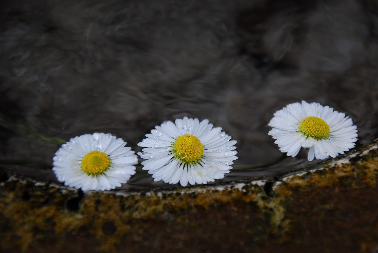 Photograph Daisies in the fountain by Dario Ricardo on 500px