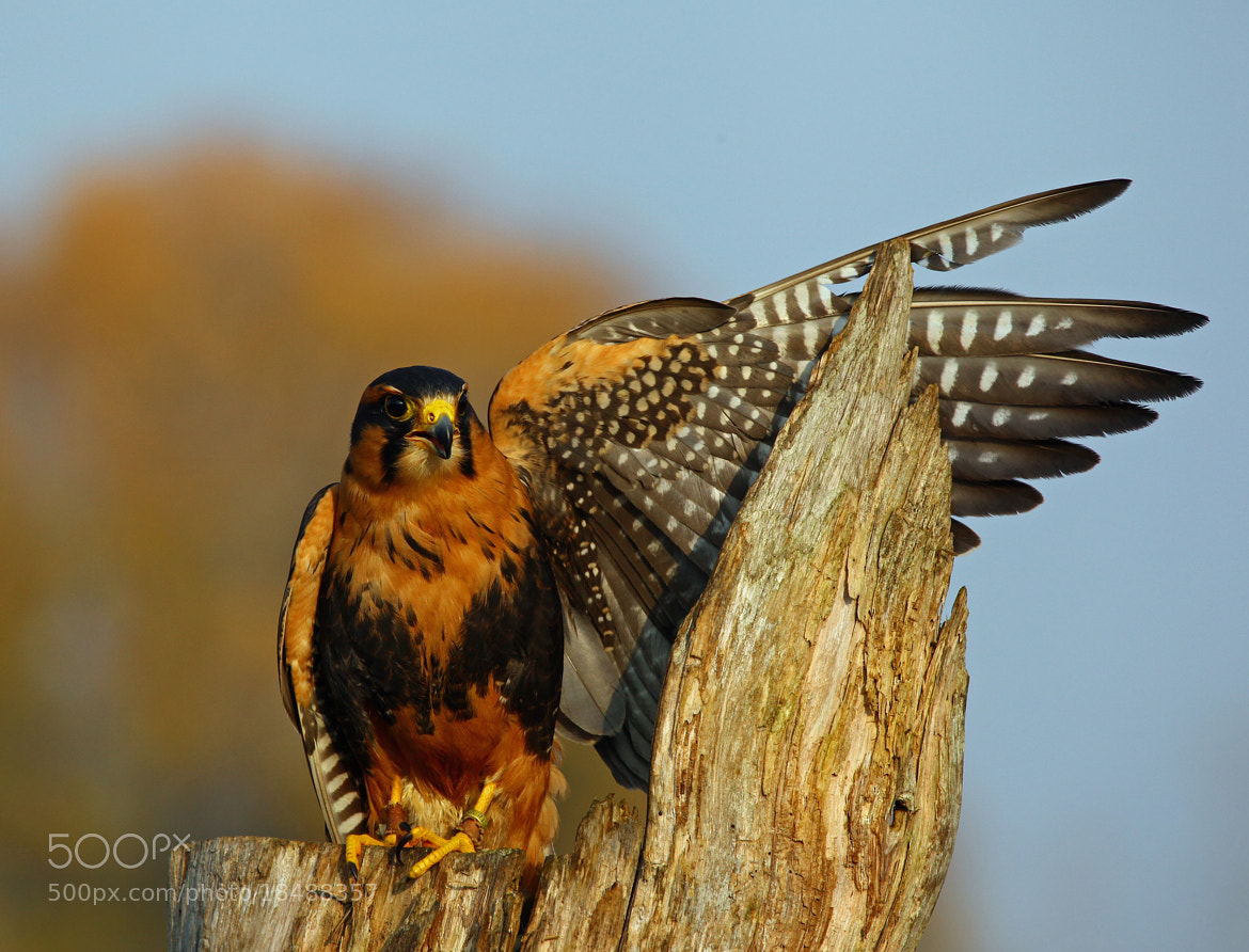 Photograph showing off my wing by Andy Ingram on 500px