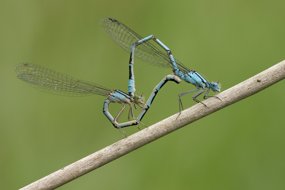 Photograph Common Blue Damsels (enallagma cyathigerum) by Neil Smith on 500px