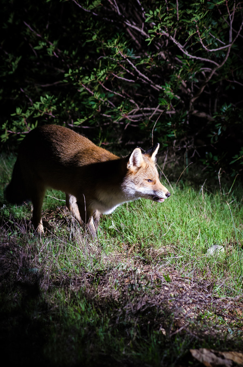 Photograph The Fox by Mariano Fois on 500px