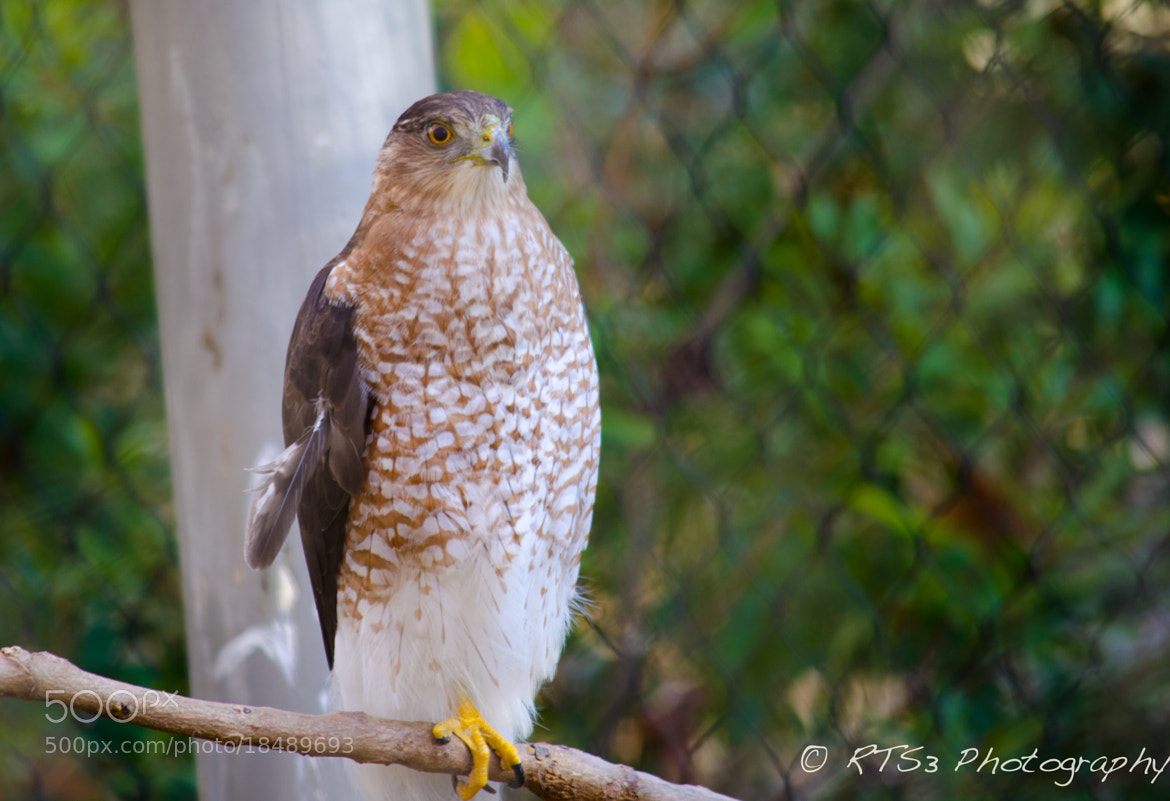 Photograph Hawk by Rob Scott on 500px