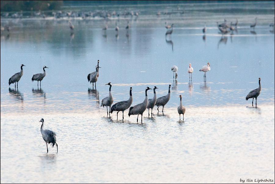 Morning cranes №26