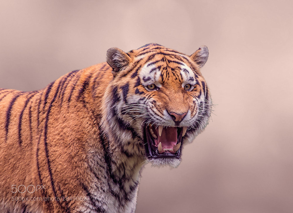 Photograph Tiger King by Falk Friederichs on 500px
