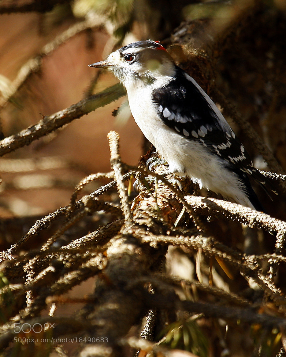 Photograph Downy Woodpecker by Larry Sullivan on 500px