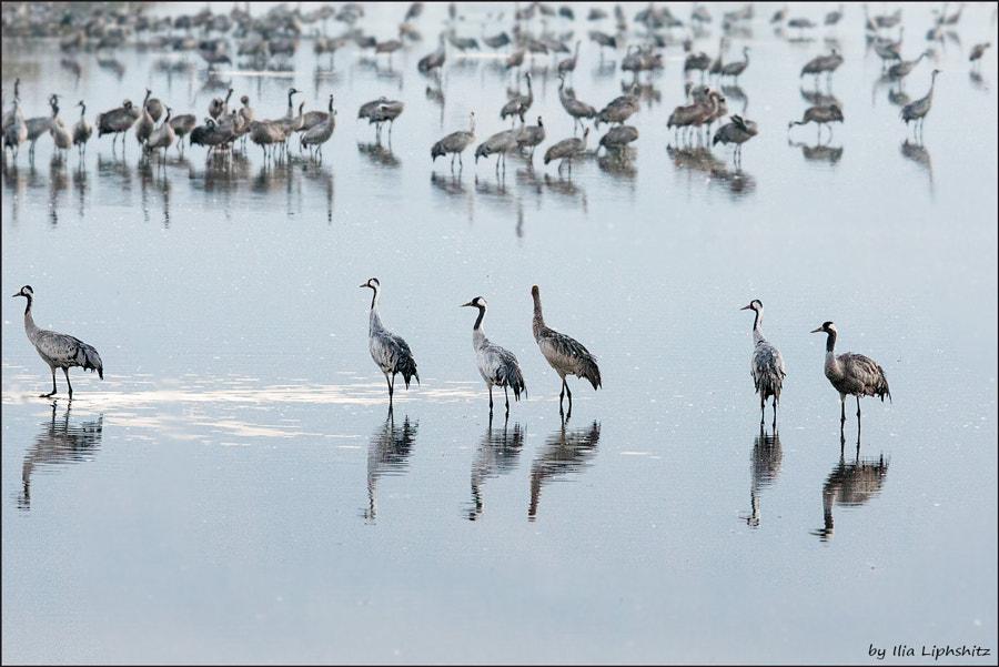 Morning cranes №27
