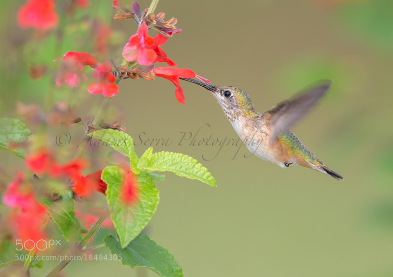 Photograph Ruby Throated Hummingbird by Adams Serra on 500px