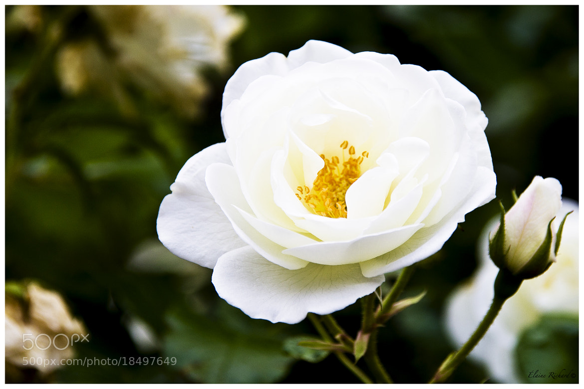 Photograph Rose en Grèce by E Richard on 500px