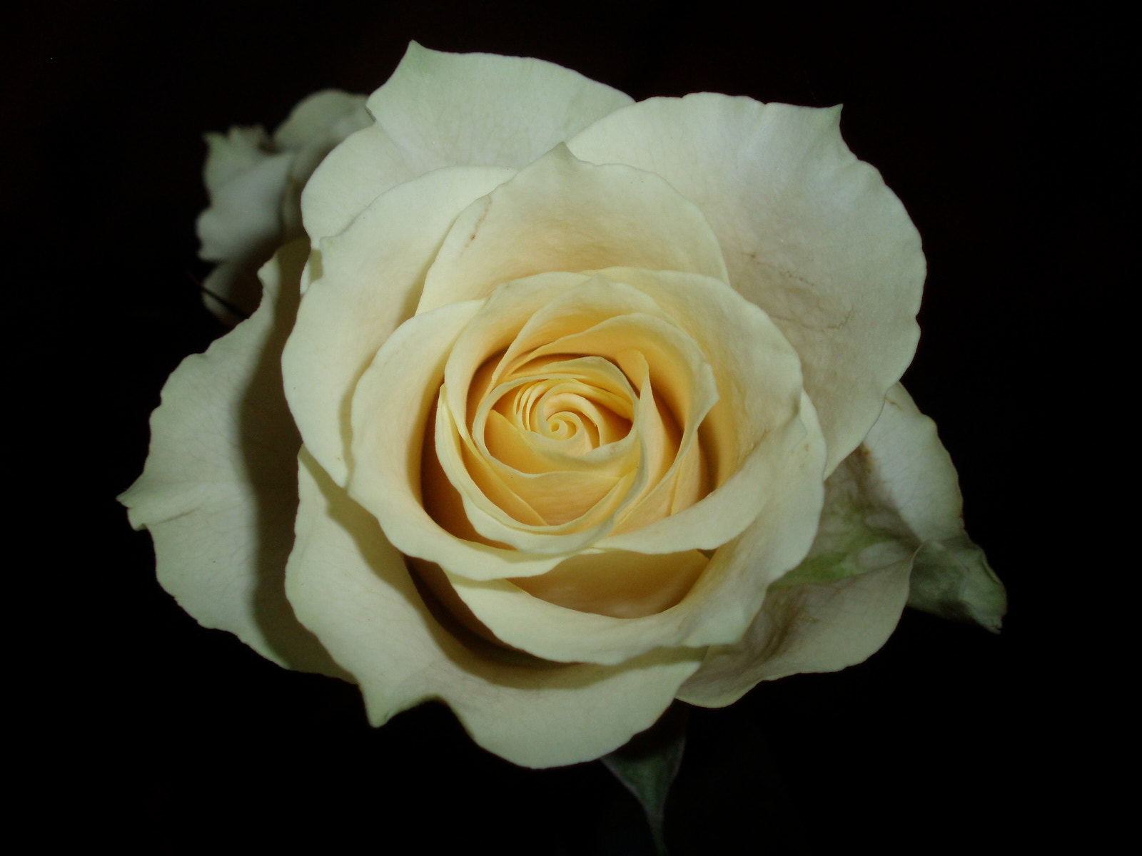 Photograph Rose by PhotoPalette  on 500px