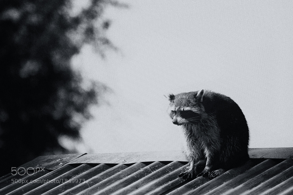 Photograph The Racoon by Martijn Akse on 500px