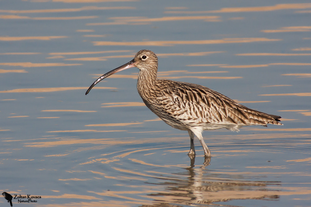 Photograph Eurasian Curlew (Numenius arquata) by Zoltan Kovacs on 500px