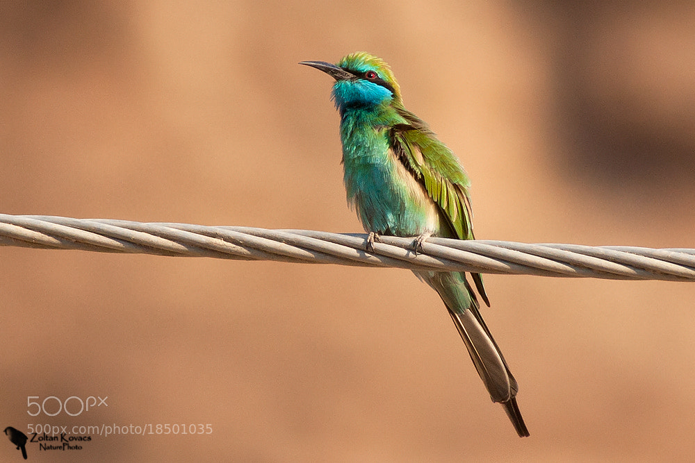 Photograph Little Green Bee-eater (Merops orientalis) by Zoltan Kovacs on 500px