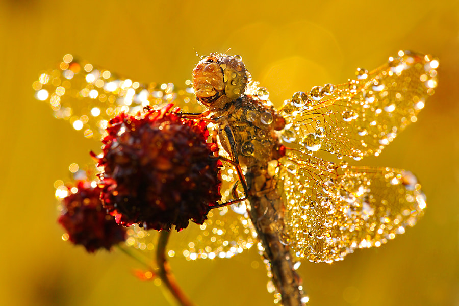 Photograph Sympetrum sp. by Tomas Valenta on 500px