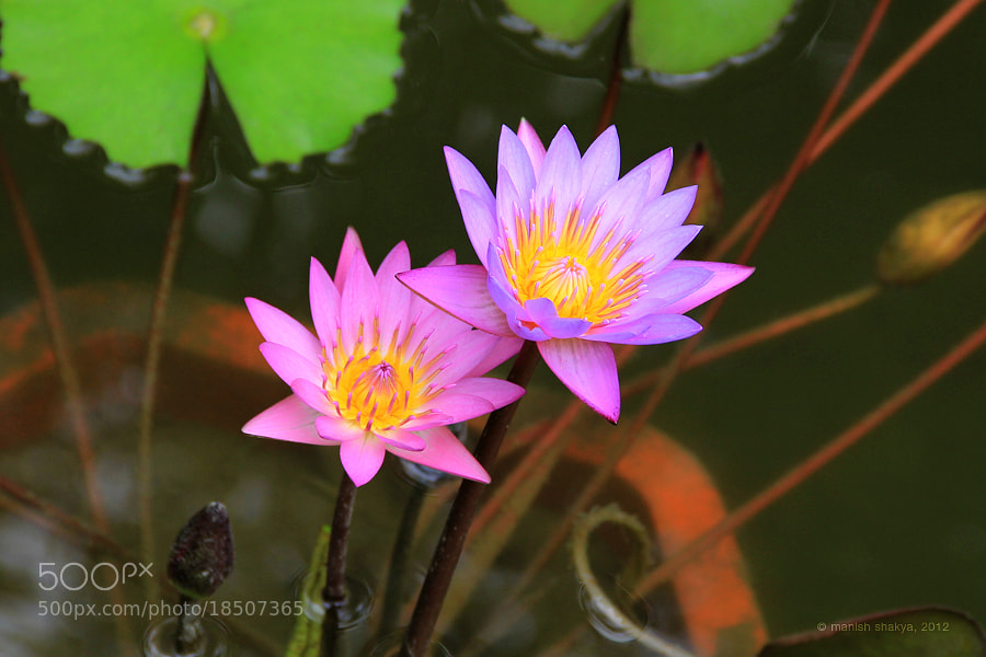Beautiful Flowers by Manish Shakya (MrShakya)) on 500px.com
