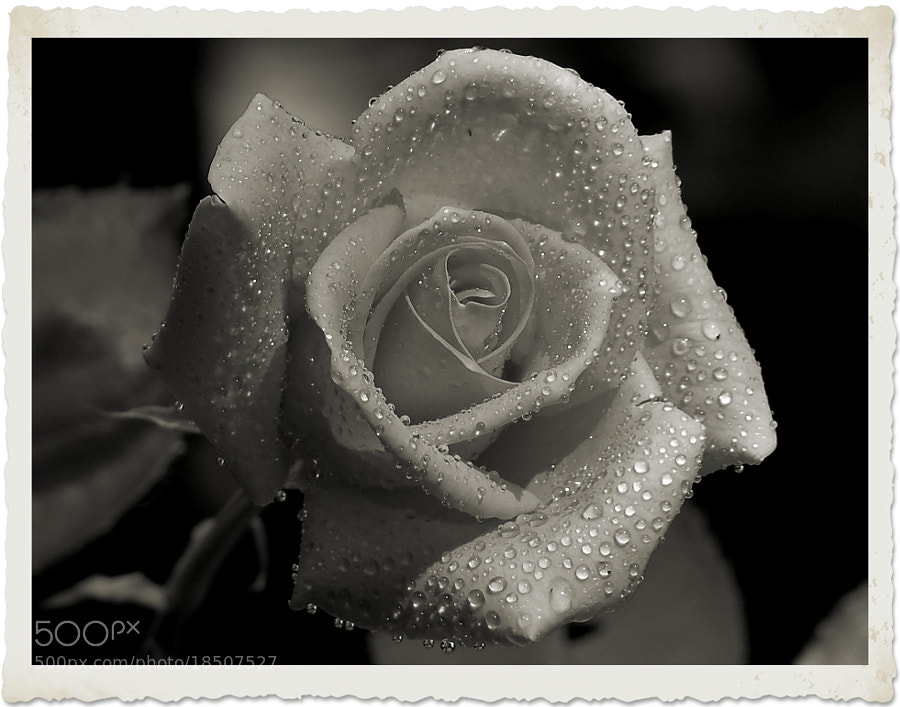 Photograph Memories of a Rose by Nancy Andersen on 500px