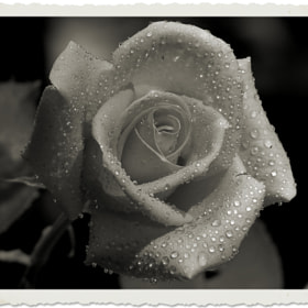 Memories of a Rose by Nancy Andersen (Trinn)) on 500px.com
