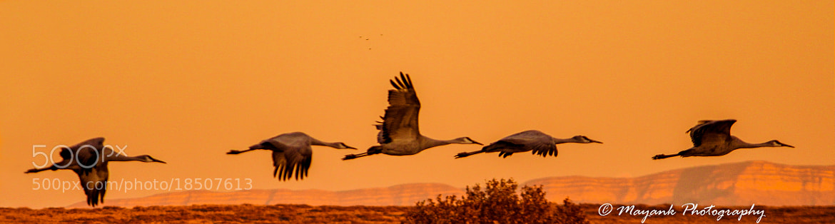 Photograph Sandhill Cranes at the Bosque Del Apache, Socorro, NM by Mayank M. on 500px