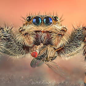 jumping spider (extreme-wildlife-stack)