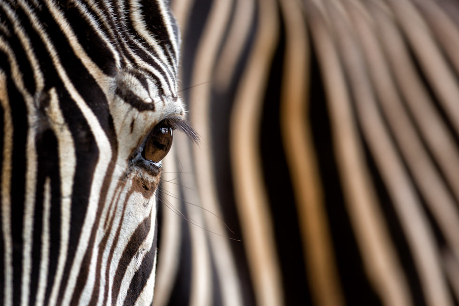 Photograph Grevy's Eye by Mario Moreno on 500px