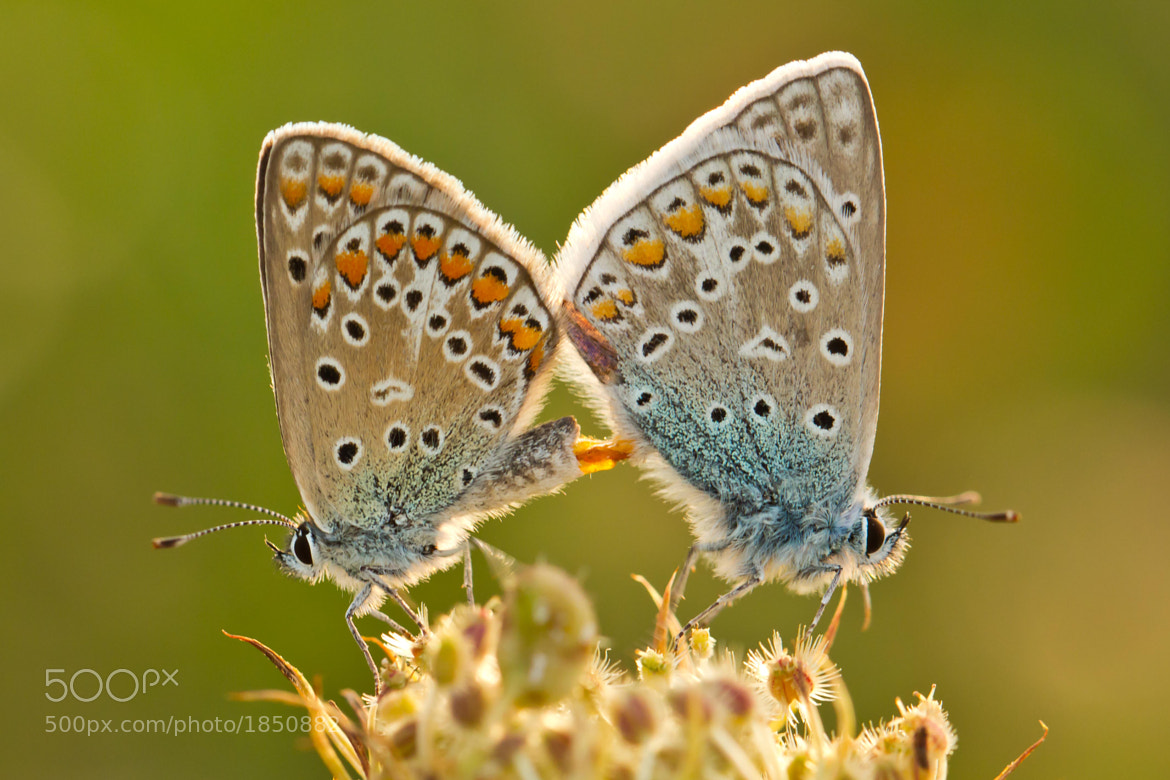 Photograph Butterflies in love by Markus _ on 500px