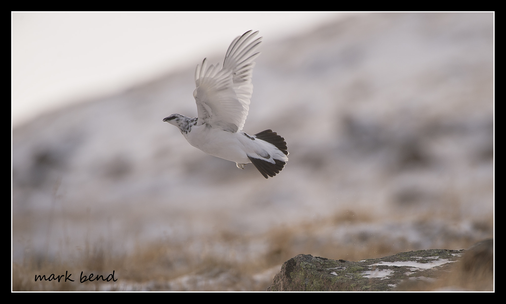 Photograph  ptarmigan take off! by Mark Bend on 500px