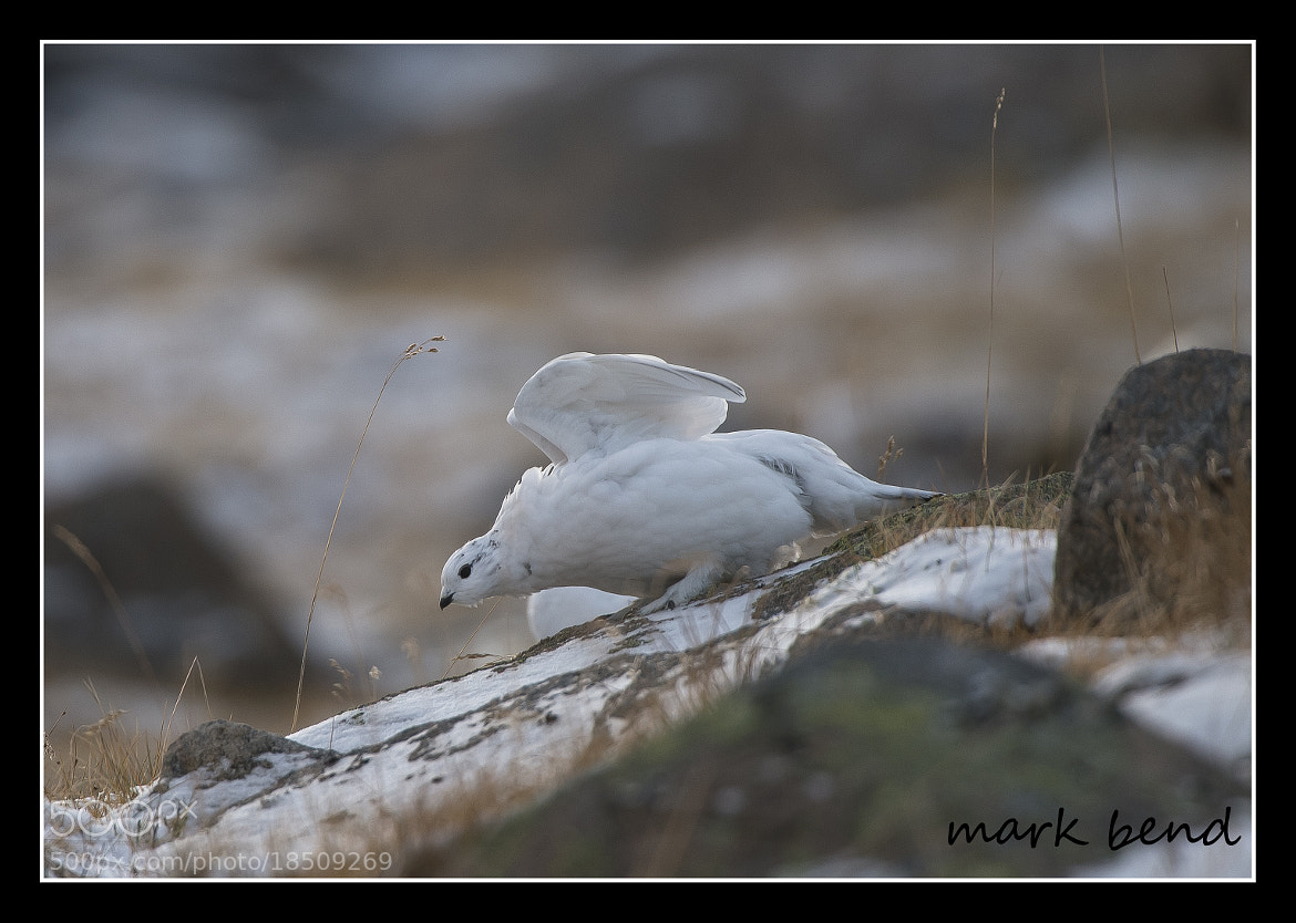 Photograph ptarmigan by Mark Bend on 500px
