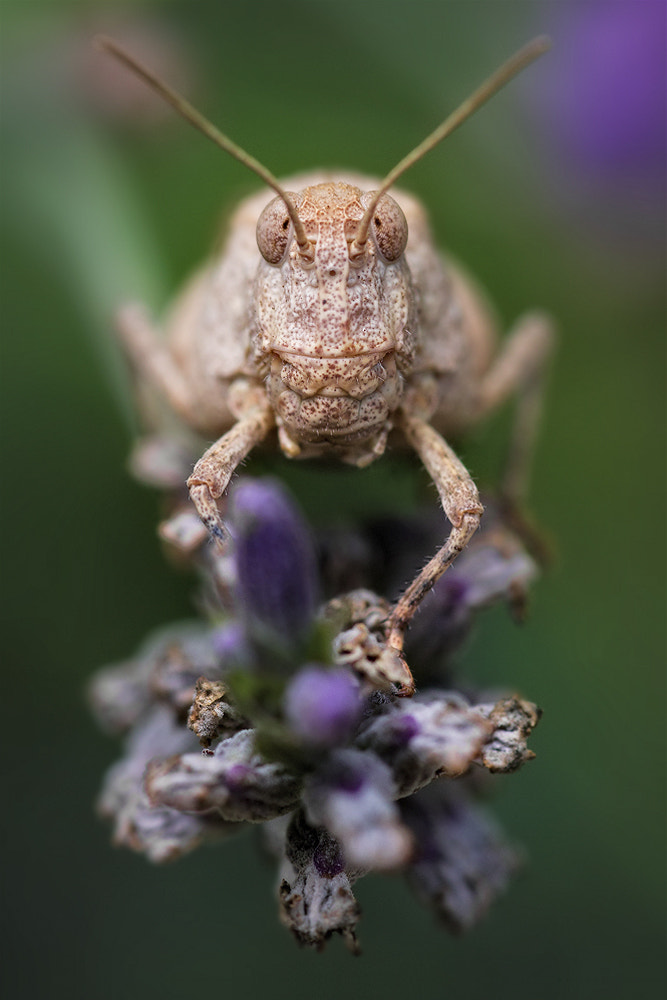 Photograph Lavandine Hopper by Neil O'Connell on 500px