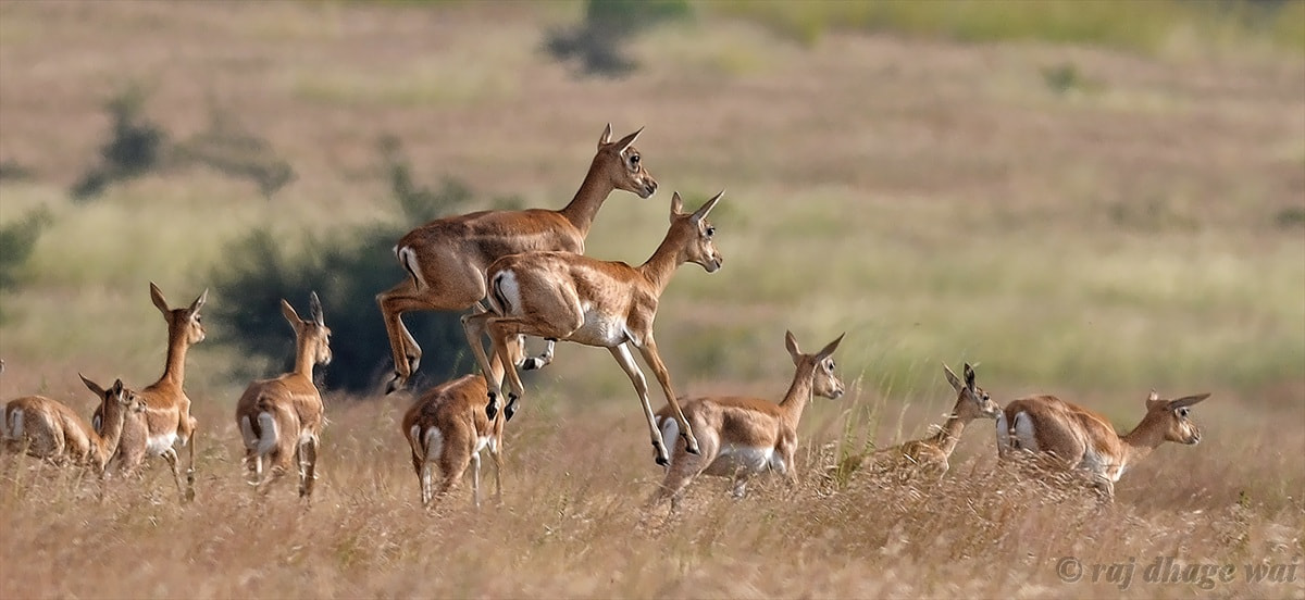 Photograph Blackbuck - Female by Raj Dhage on 500px