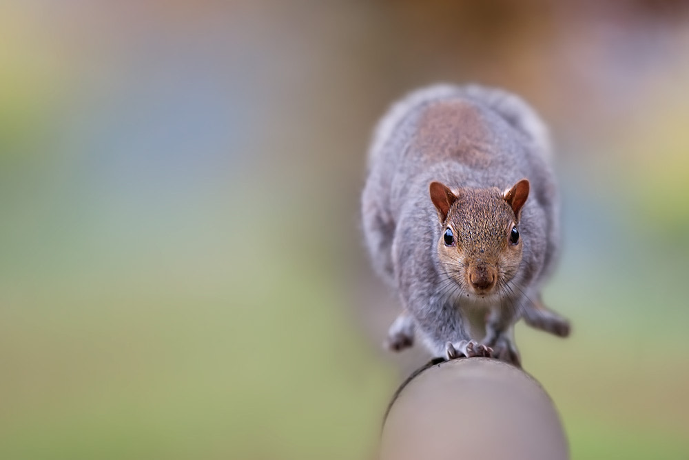 Photograph Squirrel by Stefano Ronchi on 500px