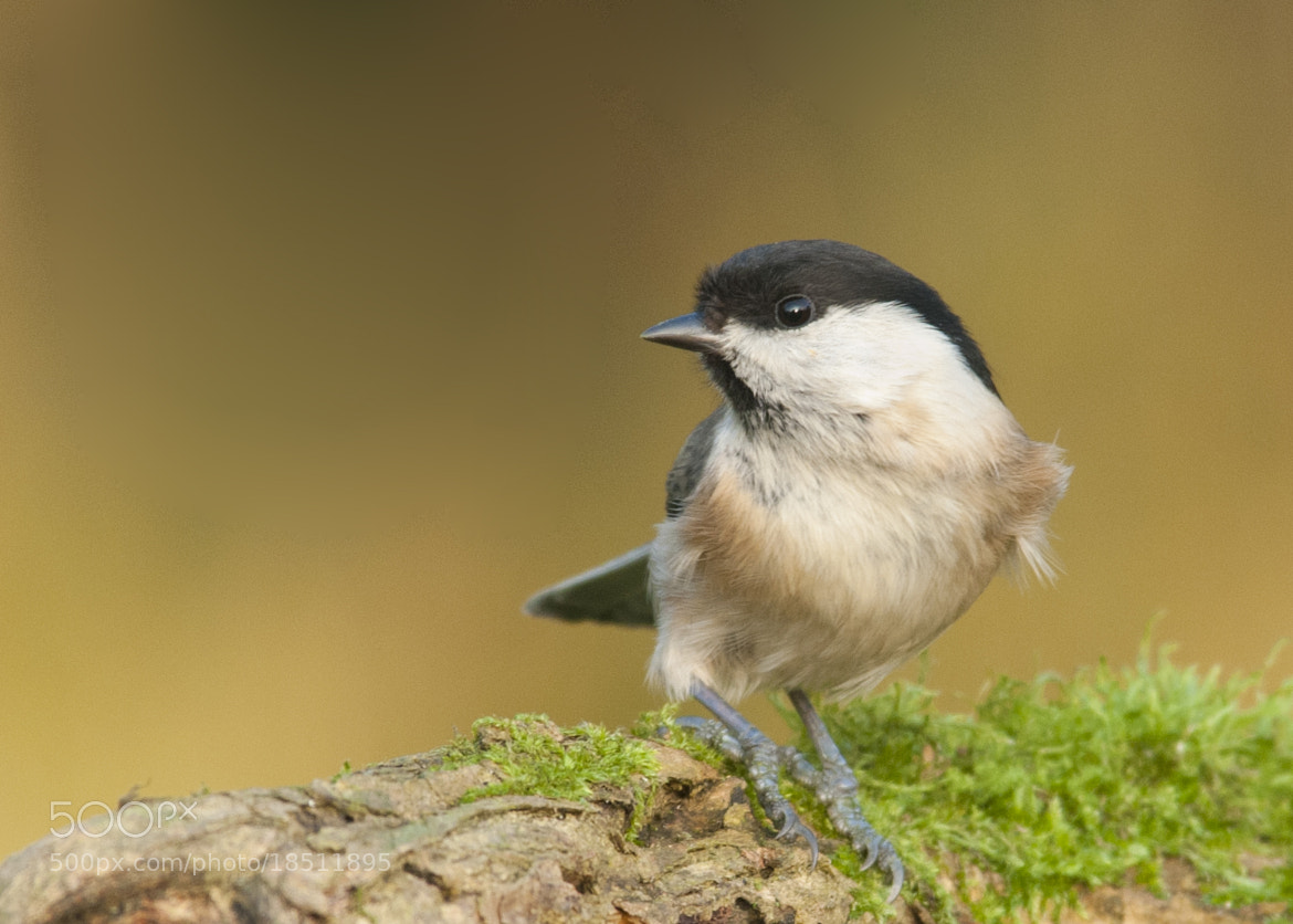 Photograph Willow Tit (Poecile montanus) by Chrissy Stone on 500px