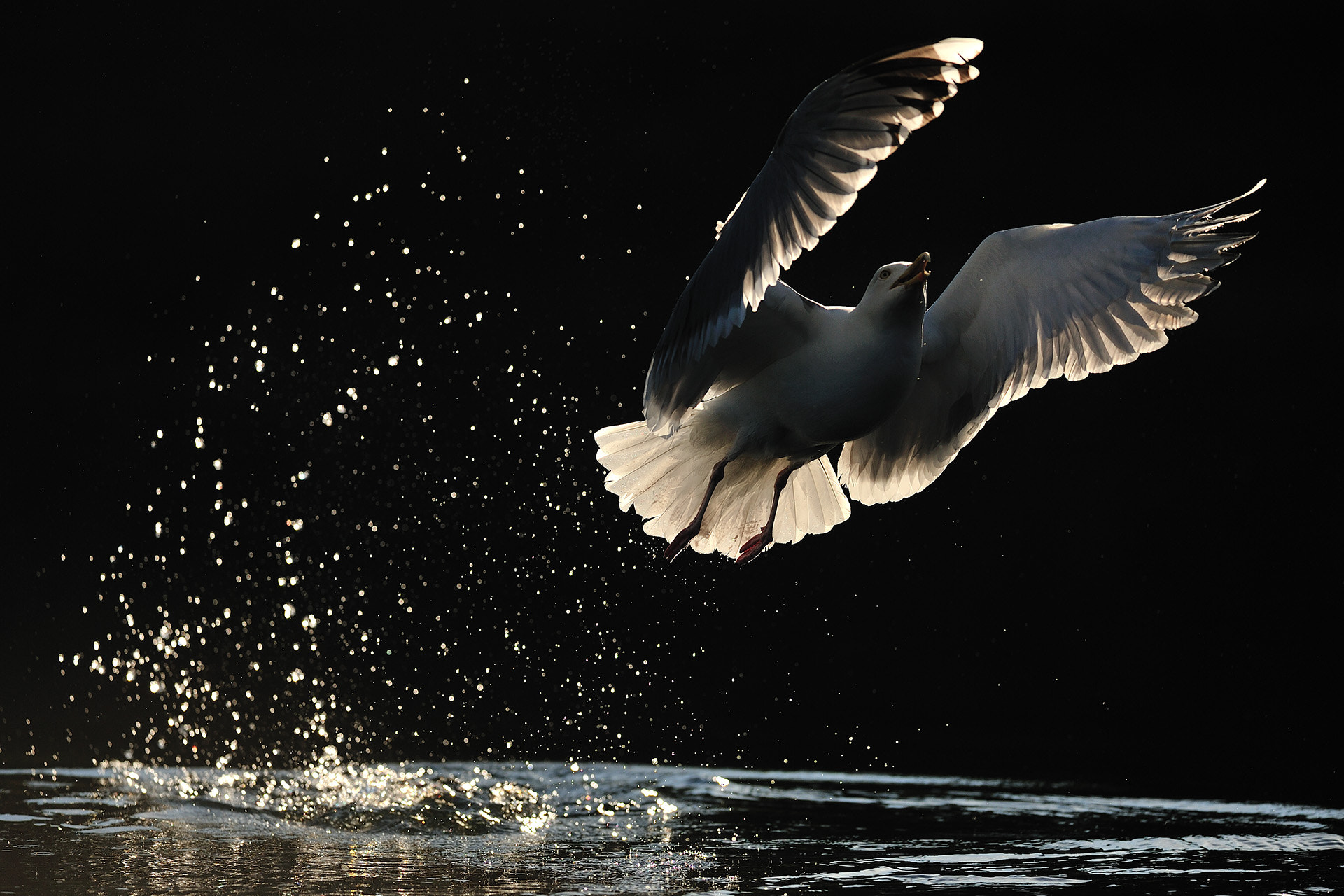 Photograph Gull on black by Yves Adams on 500px
