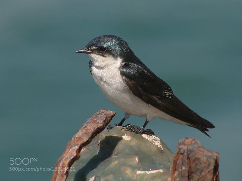 Photograph Mangrove Swallow by Aat Bender on 500px