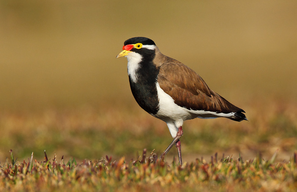 Photograph Banded Lapwing by Ofer Levy on 500px