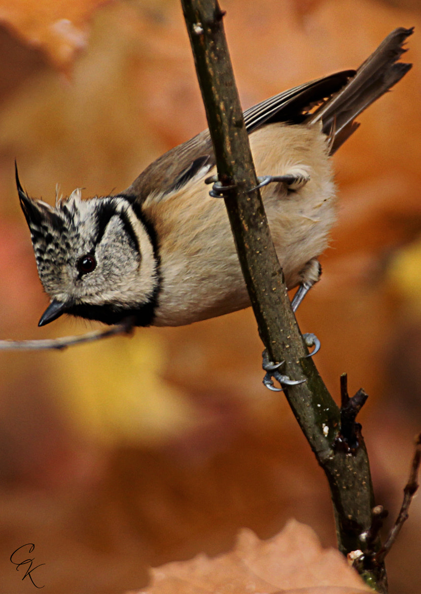Photograph crested tit by Karen Claessens on 500px