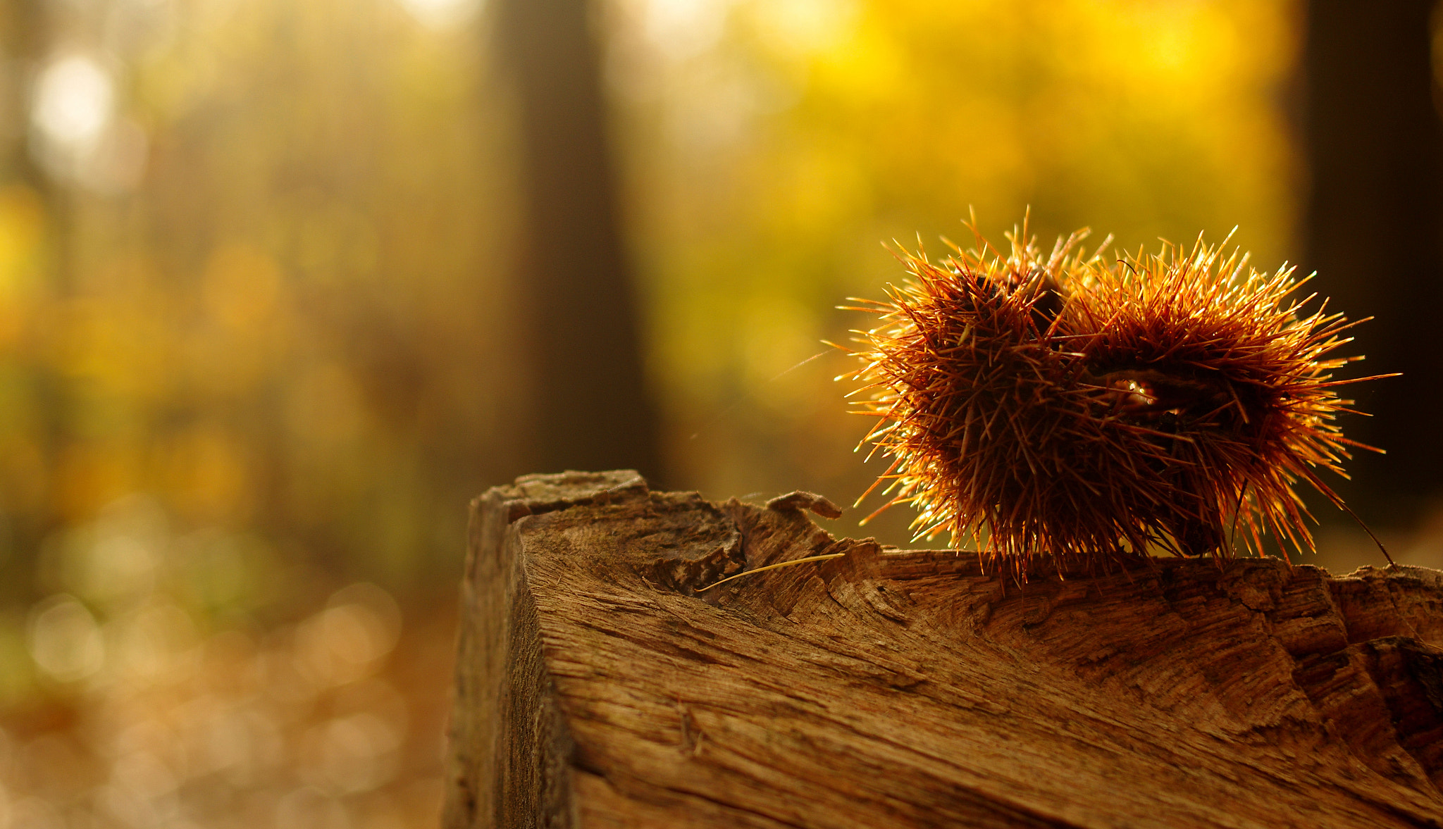 Photograph chestnut by frederic  on 500px