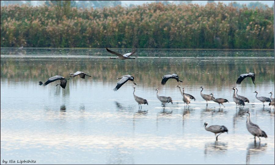 Morning cranes №28
