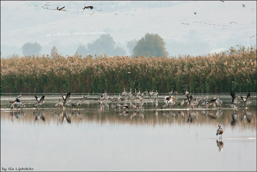 Morning cranes №29