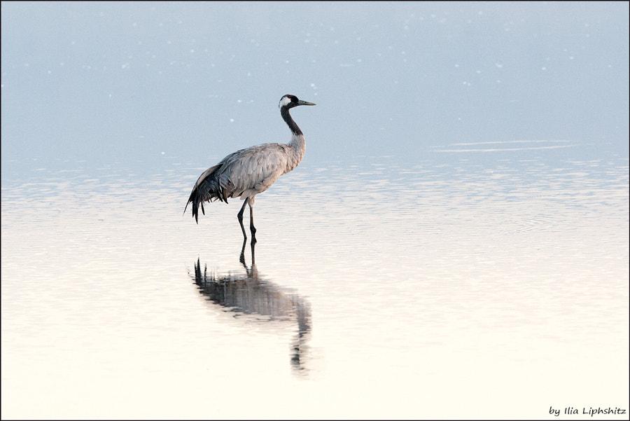 Morning cranes №30