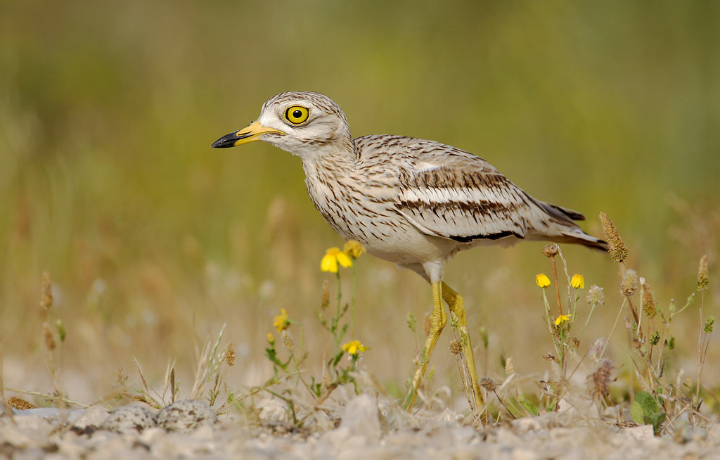 Photograph Stone Curlew by Ofer Levy on 500px